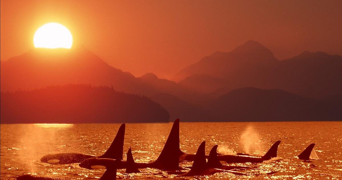 Orkas bij oranje zonsondergang  HD Wallpapers