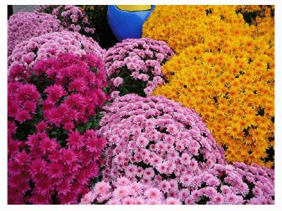 Algumas flores encontradas no nordeste natureza bela - Como cultivar crisantemos ...