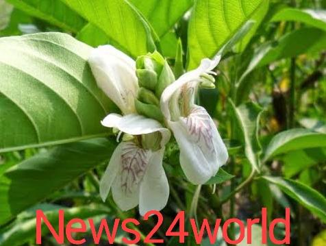 The medicinal properties of basok