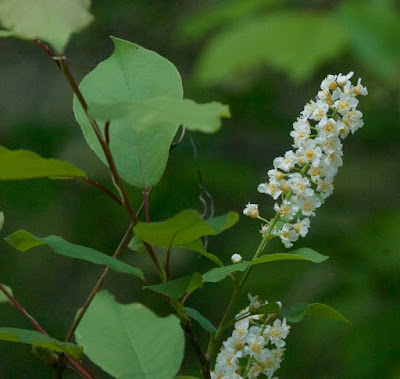 Chokecherry (Prunus virginiana)