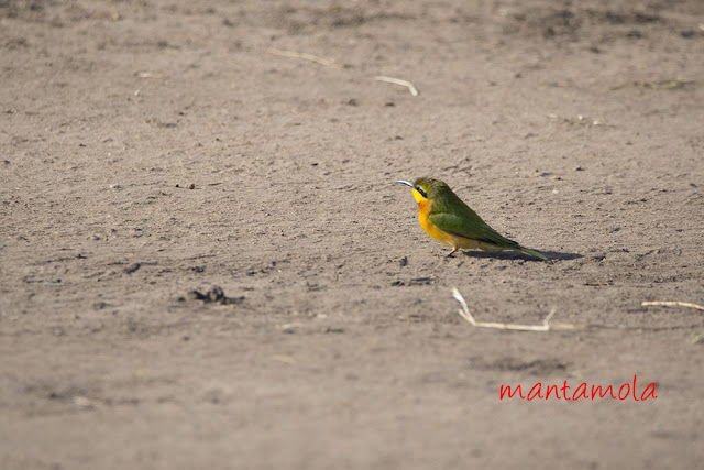 Little bee-eater (Merops pusillus)
