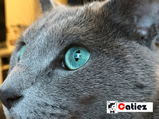 Russian Blue Cat - All You Want To Know About Russian Blue Cat
