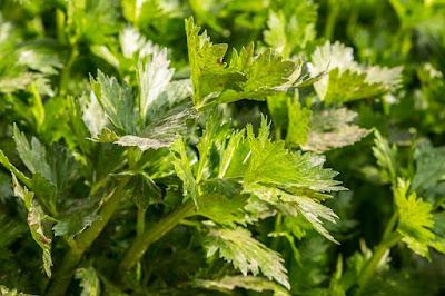 Seledri obat tradisional asam urat