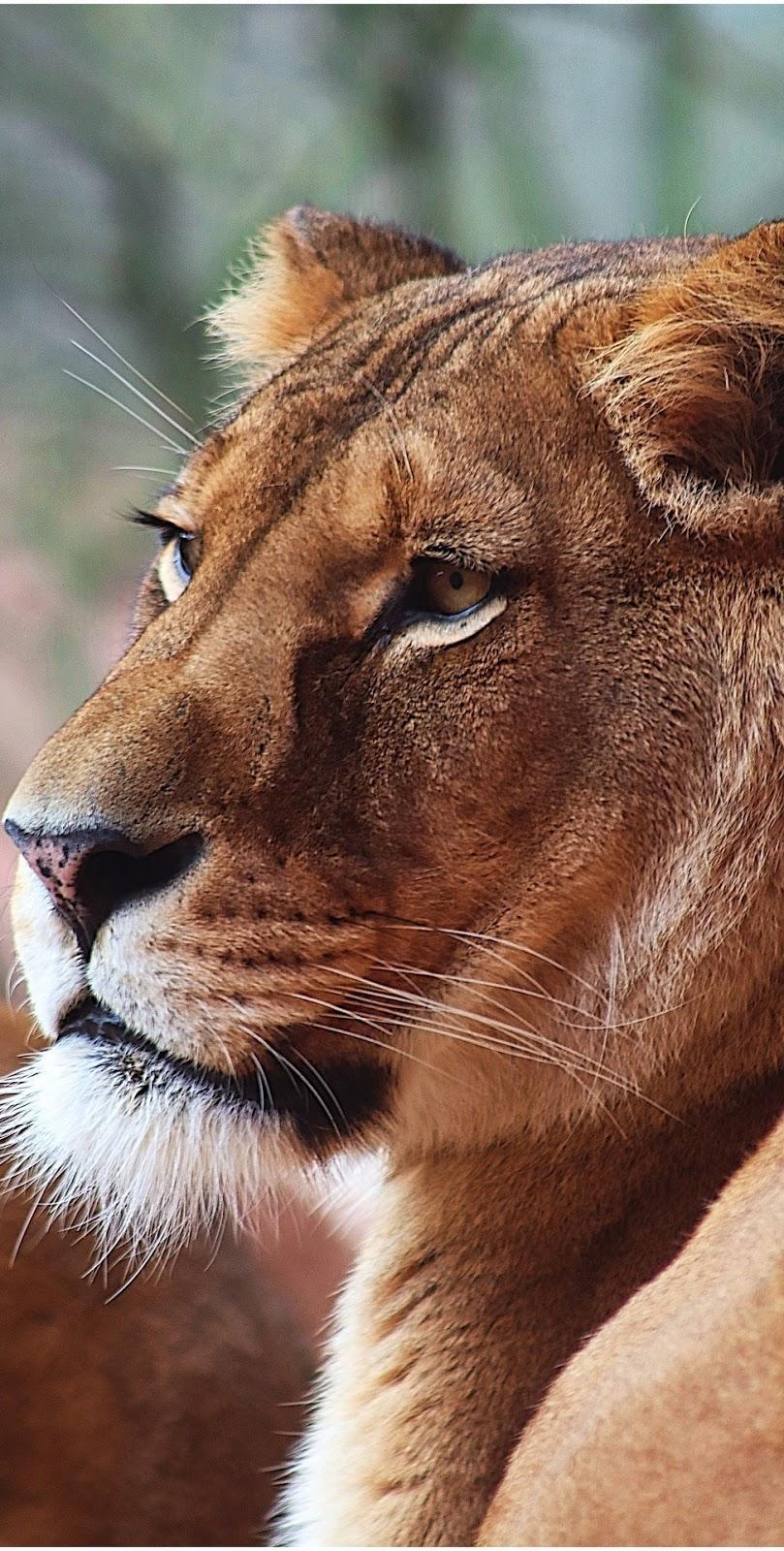 Lioness portrait.