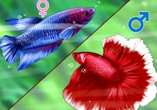 Tips membedakan ikan cupang jantan dan betina secara mudah