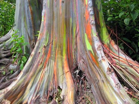 2. Eucalyptus Deglupta