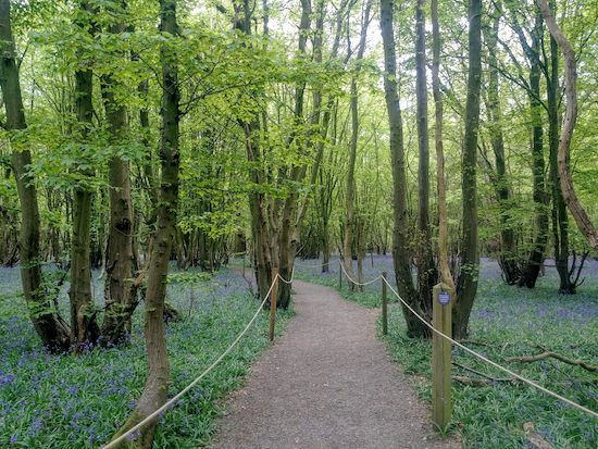 The bluebell track through Langley Wood