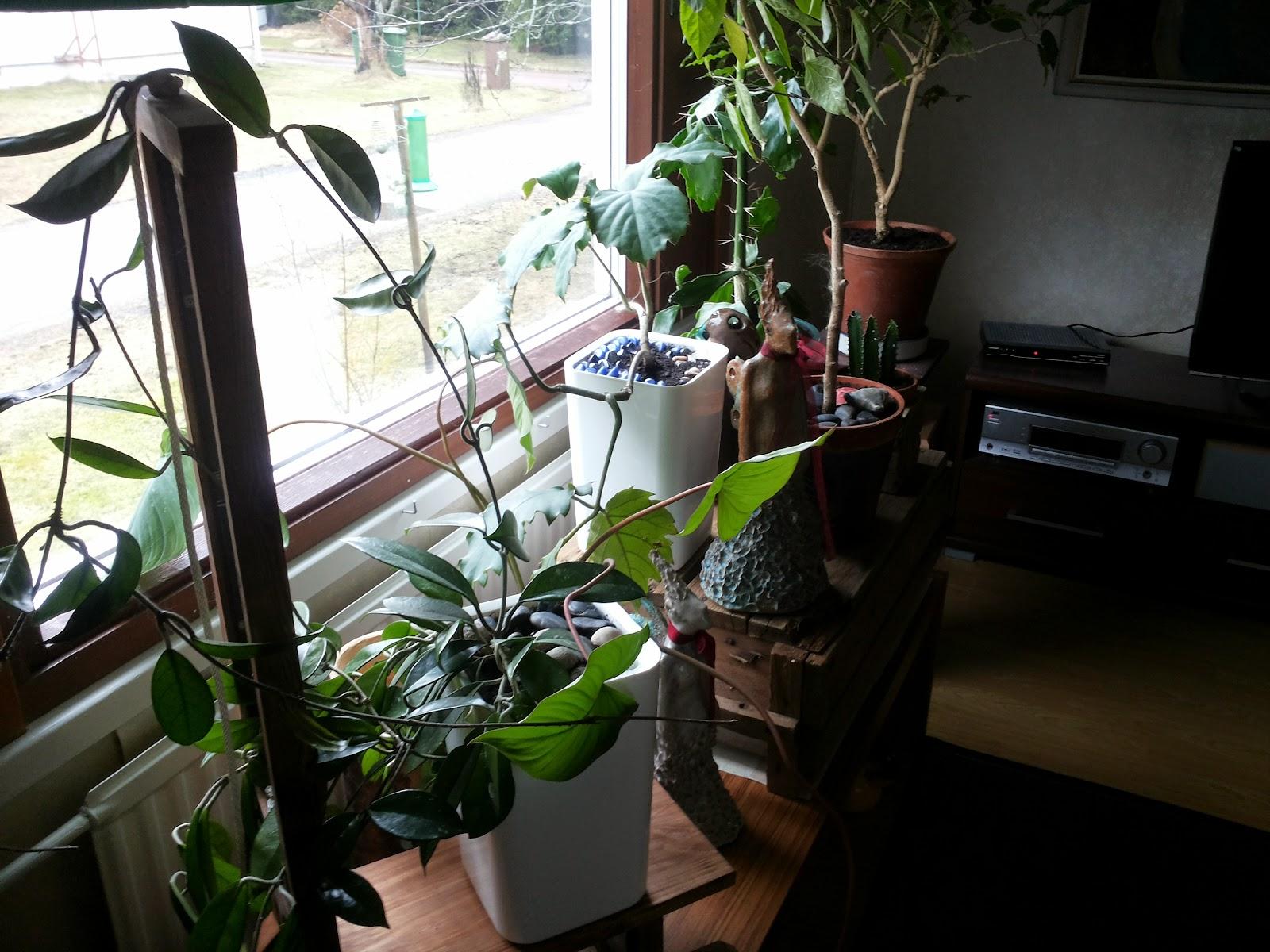 kekkilä happaman maan kasvit