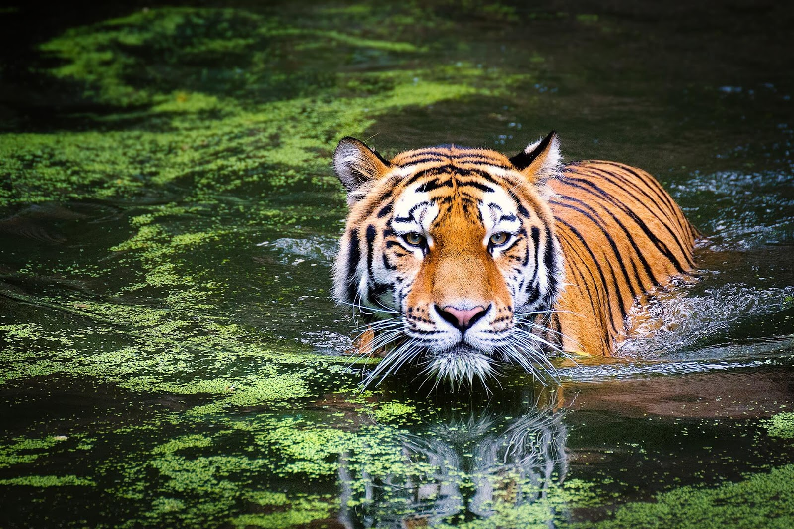 tiger wallpaper hd 1366x768
