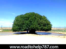 The famous Companion tree - Road to Help 787