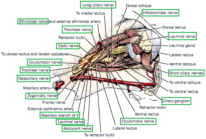 figure 1: lateral view of the nerves of the eyeball  nerves are in the  green boxes  source: evans h e  and lahunta a  (2010) guide to the  dissection of the