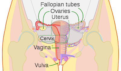 Female reproductive organs, frontal view