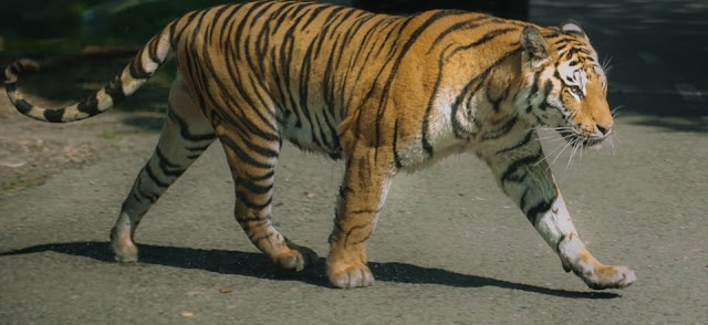Pench National Park Tiger Crossing