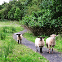 Photos of Ireland: Curious sheep at Mount Falcon in County Mayo