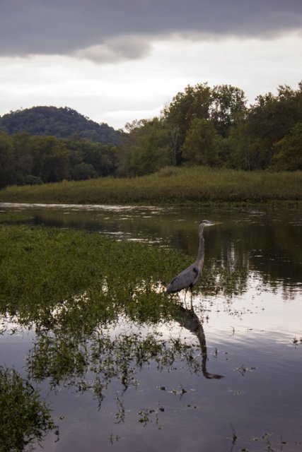 Caney Fork River blue heron