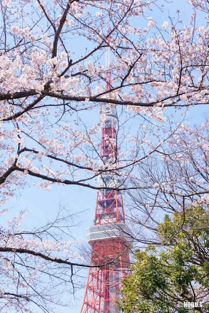 桜越しの東京タワー