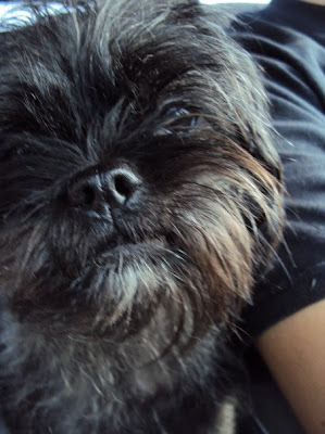 Pugapoo Puppies Momma Mimi