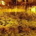 Desmantelan en Villaseca una plantación de cannabis, en manos de una organización criminal internacional