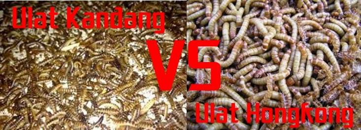 Manfaat Ulat Kandang dan Ulat Hongkong, Kegunaan Ulat Kandang Untuk Pleci