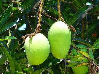 hama-pohon-mangga.jpg