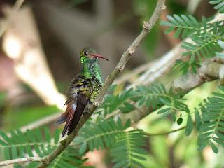 Amazilia tzacatl - Ariane à ventre gris