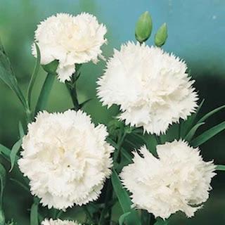 bunga-carnation-surabaya