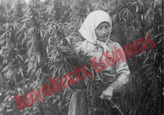 Όταν στην Αργολίδα καλλιεργούσαν νόμιμα κάνναβη