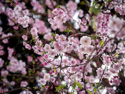 Shidare-zakura (Cerasus spachiana 'Pendula') flowers: Engaku-ji