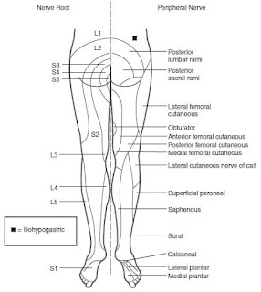 Innervation of the lower extremity