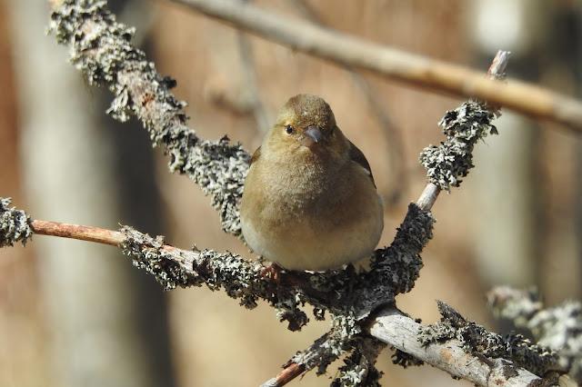 lintu oksalla, kevät, lintu