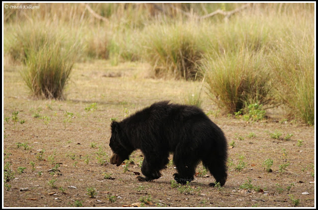 Indian Sloth bear, Kanha National Park