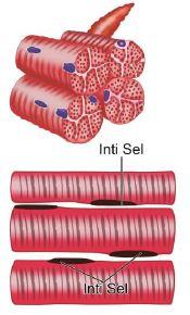 Gambar 7. Struktur otot lurik www.pelajaran.co.id