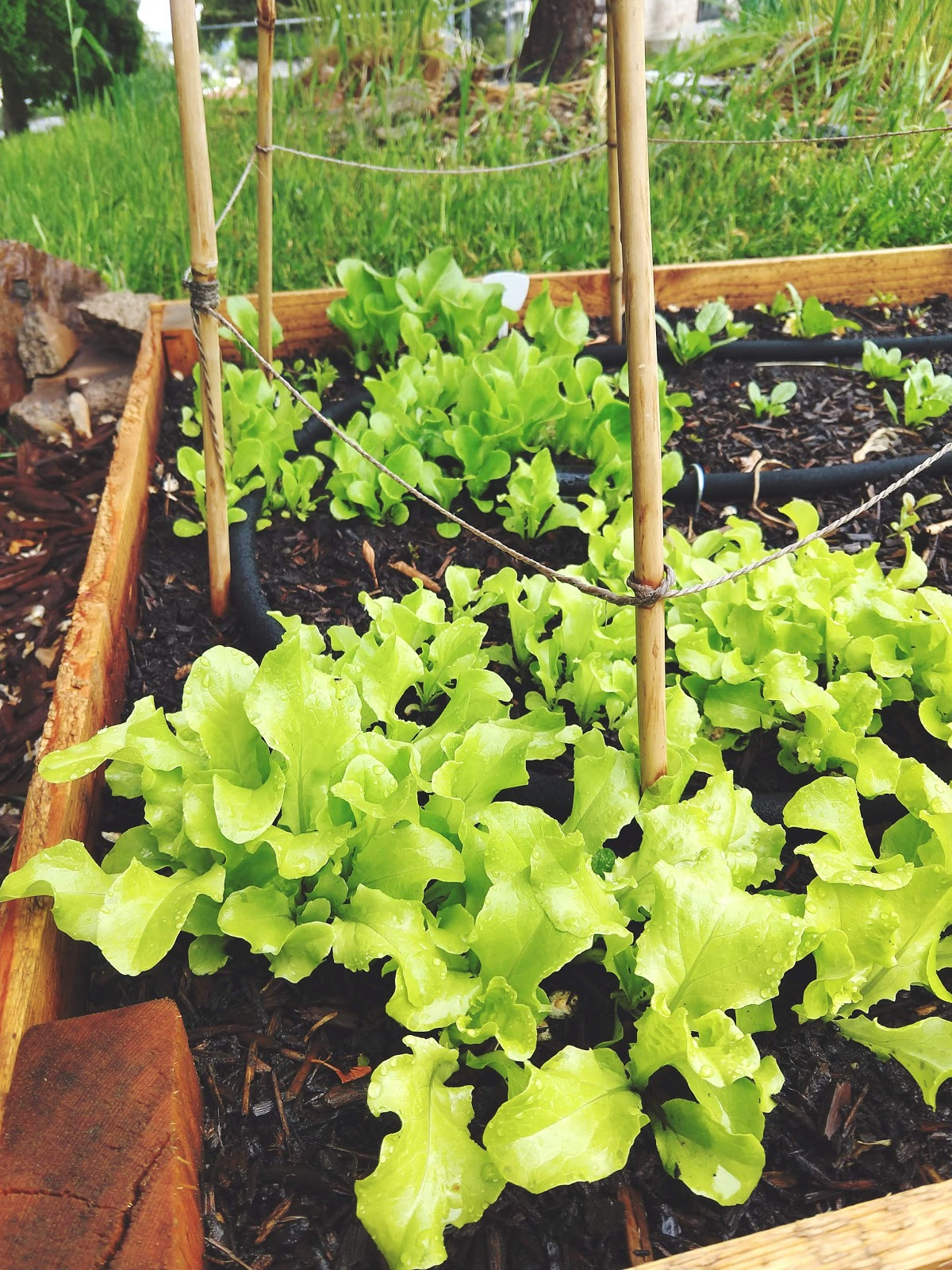 Lettuce growing in the garden // www.thejoyblog.net