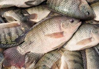 11 Pakan alami untuk Ikan nila supaya cepat besar