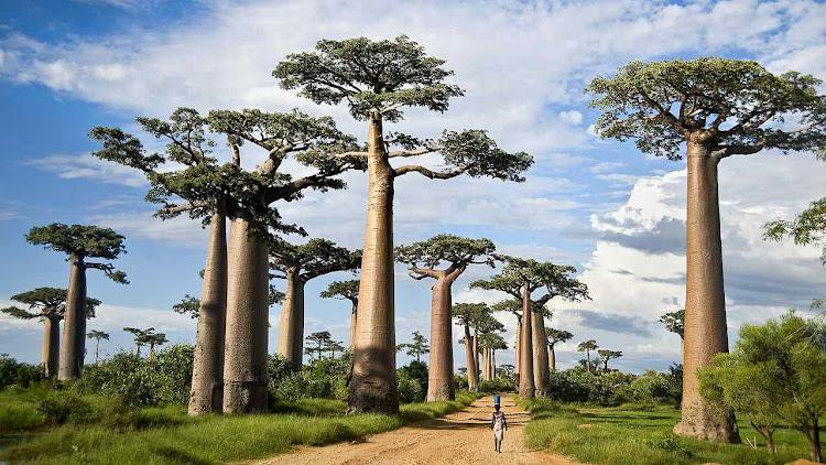Baobabs vicejando. A foto ilustra artigo sobre a extinção dessas árvores