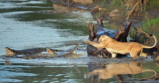 львица и крокодил