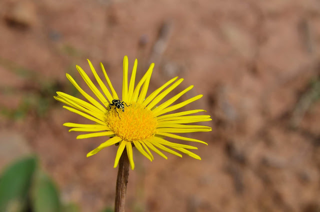 Flower and a Yellow Bug #SterkfonteinDam #SA #PhotoYatra #TheLifesWayCaptures