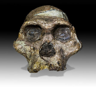 mrs ples fossil, Which are considered to be the distant relatives of all humankind,  This fake was actually constructed from a human skull.