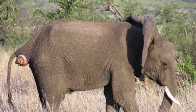 Gajah kecil alami masalah pencernaan