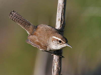 Photo of a Bewick's Wren on a plant stem