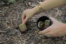 Ampas teh untuk menyuburkan tanaman