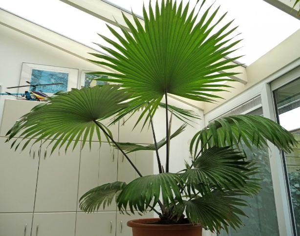 Carludovica Palmata Panama-hat Plant image