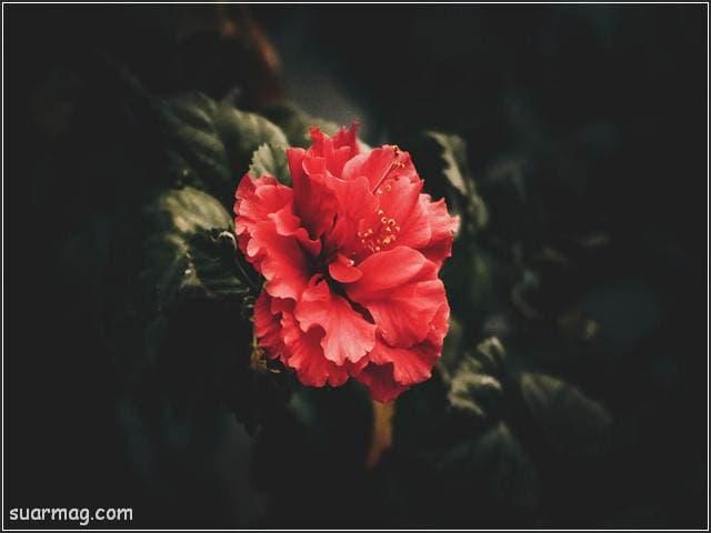 ورد احمر طبيعي 6 | Natural red roses 6