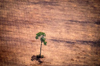 The cutting and burning of tropical forests, especially mature tropical forests like much of the Amazon rainforest, is particularly damaging because of the carbon storage lost and the contribution to climate change. (Credit: Raphael Alves/AFP/Getty Images) Click to Enlarge.
