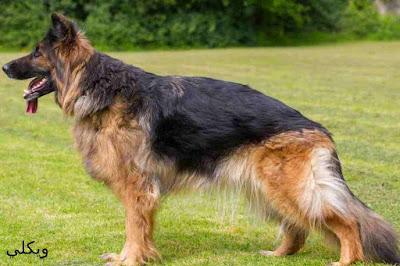 مميزات كلاب جيرمن شيبرد وكيفية الاعتناء بهم وتدريبهم