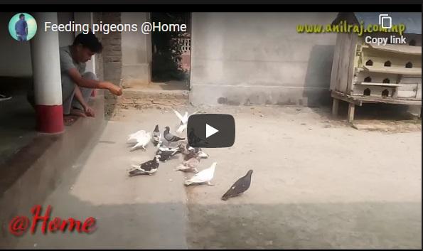 Feeding pigeons at Home