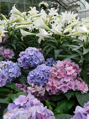 Blue Florist Hydrangea macrophylla and Easter Lilies at the Centennial Park Conservatory Easter Flower Show by garden muses-not another Toronto gardening blog