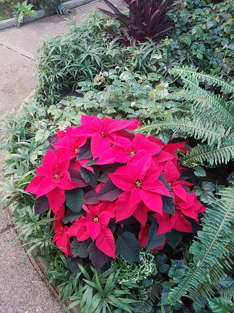 pointsettias at TBay Conservatory