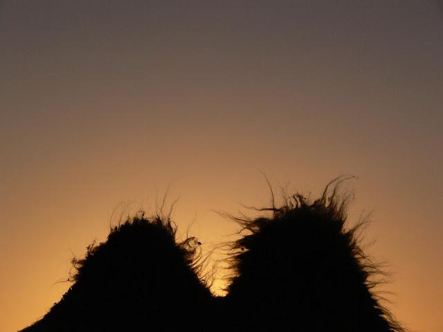 Bactrian camel humps, Gobi Desert