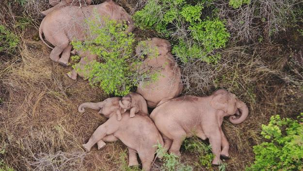 Đàn voi nghỉ ngơi và cùng nhau đánh chìm vào một giấc ngủ thật ngon lành